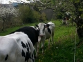Quelques vaches...